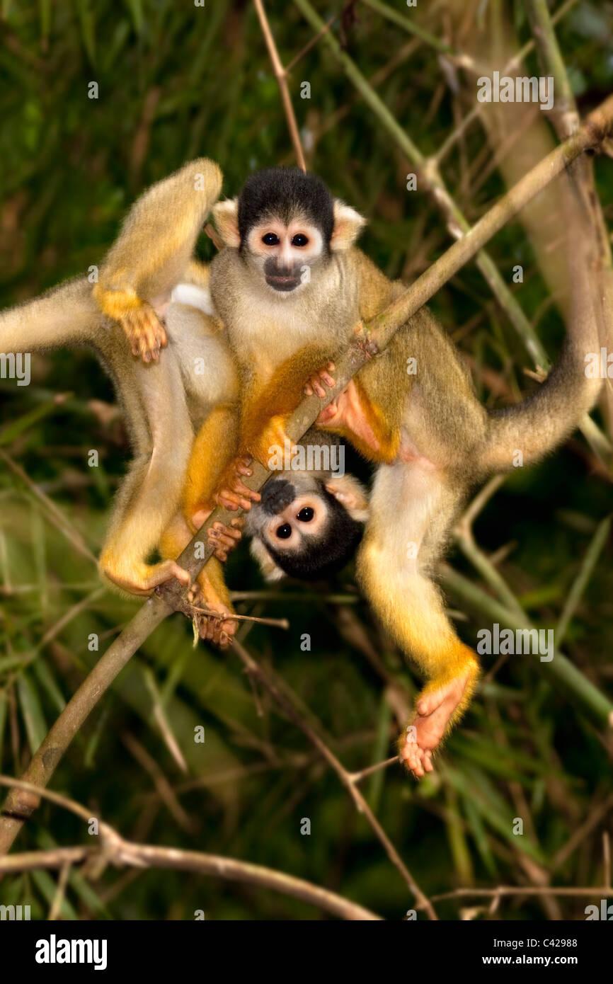 Peru, Boca Manu, Blanquillo, Manu National Park, UNESCO World Heritage Site, Common Squirrel Monkey ( Saimiri sciureus - Stock Image