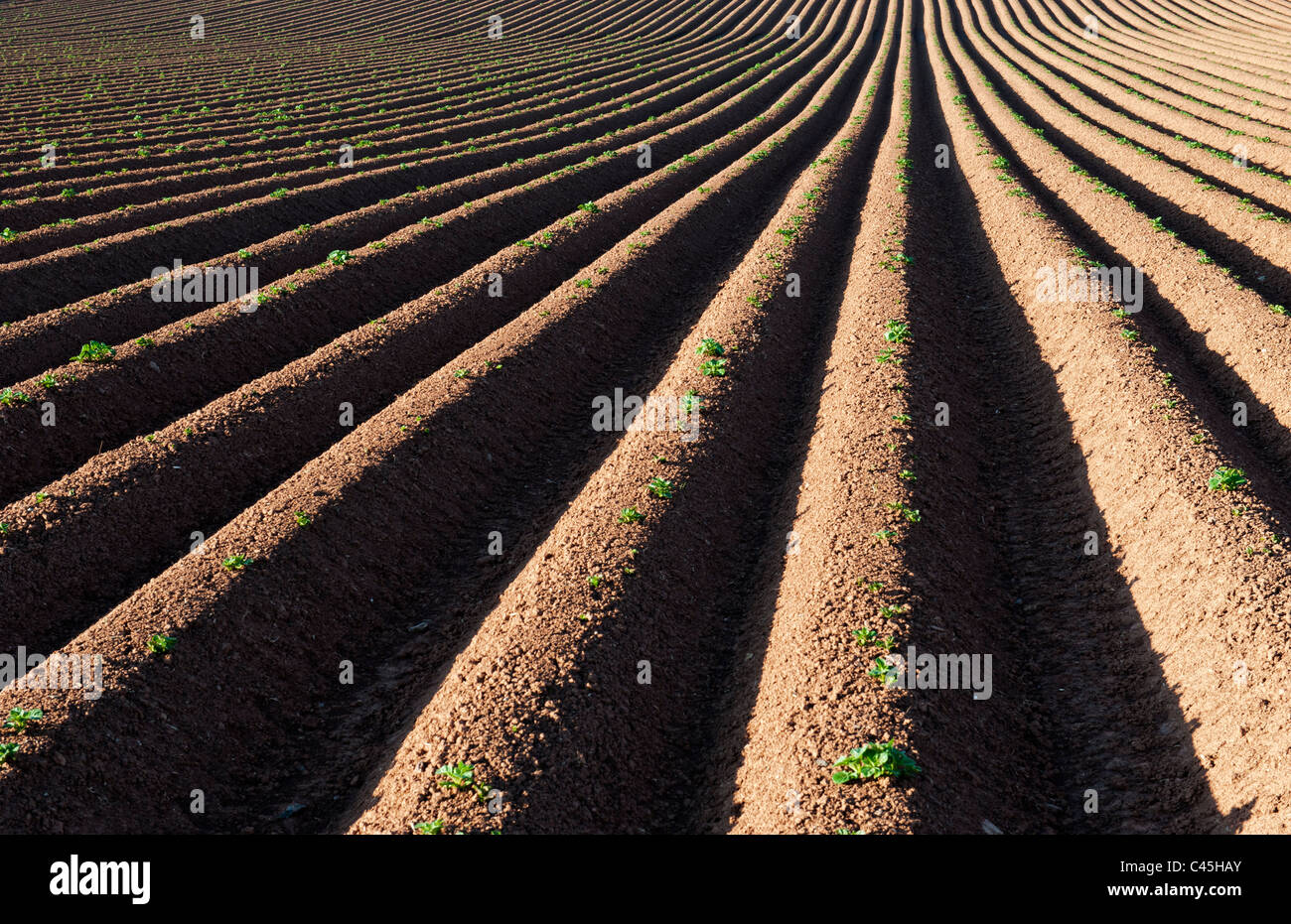 Ridge and furrow ploughed field pattern. UK - Stock Image