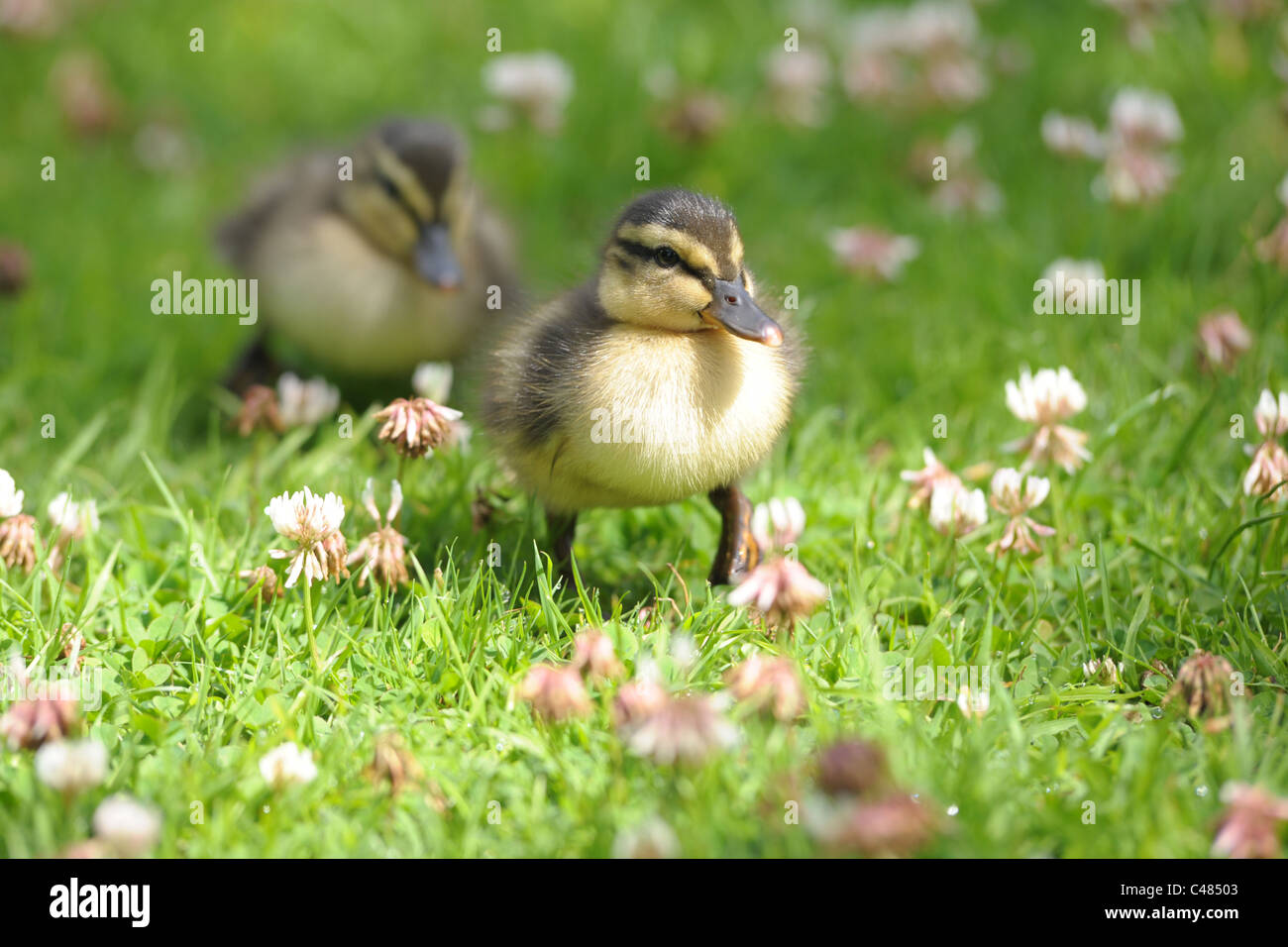 A close up of a pair of cute, baby ducklings walking through the grass.... - Stock Image