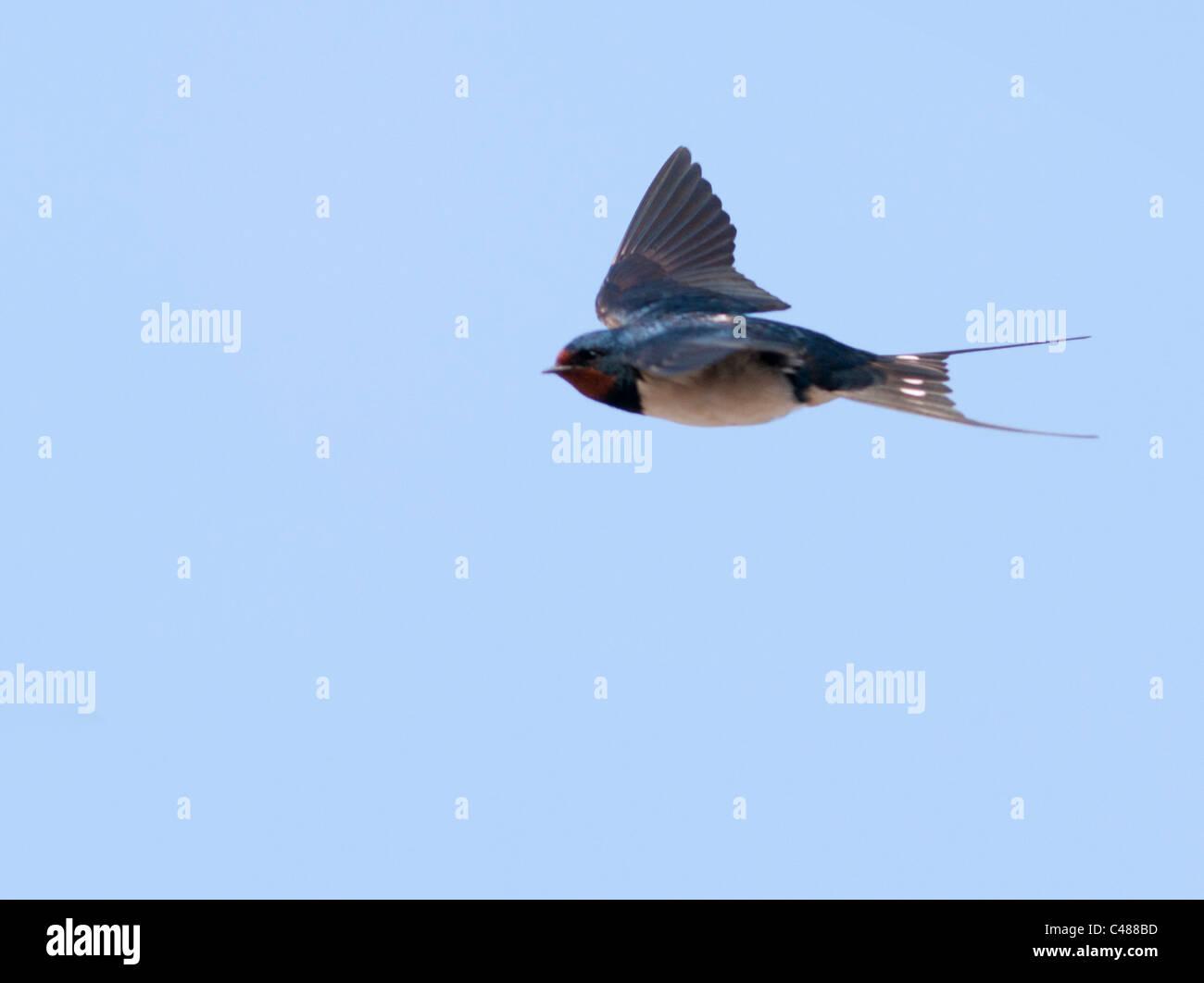 Swallow (Hirundo rustica) in flight against blue sky - Stock Image