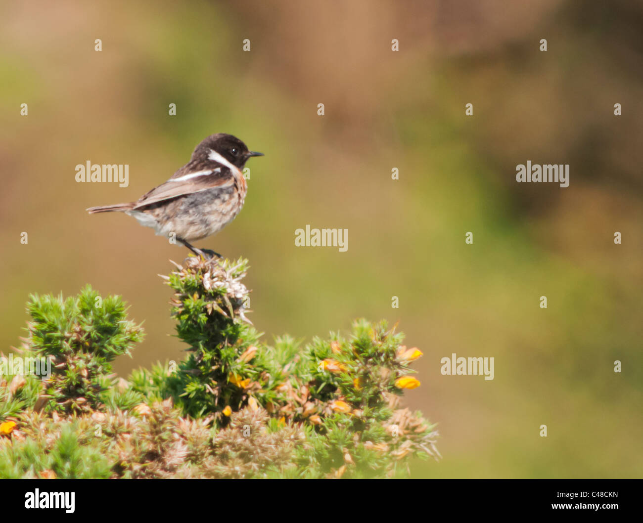 Perched Male Stonechat (Saxicola torquata) on top of Gorse Bush, Pembrokeshire, Wales - Stock Image