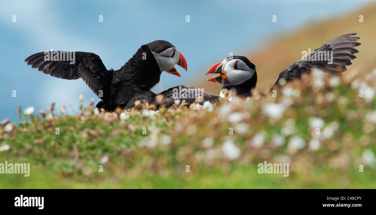 Pair of Atalntic Puffins on Skomer Island, Pembrokeshire, Wales - Stock Image
