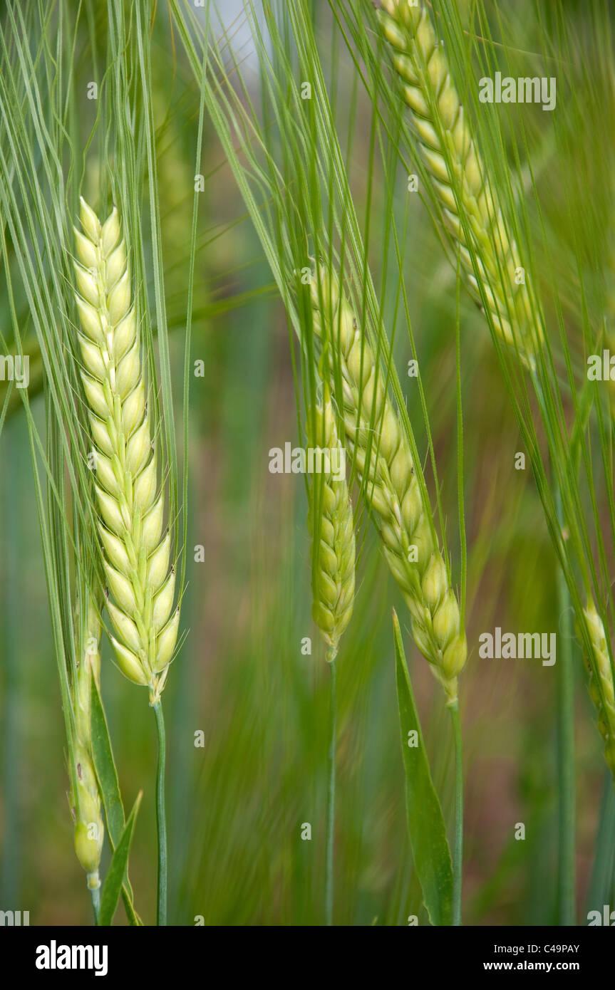 Two-rowed Barley (Hordeum distichon), unripe ears. - Stock Image