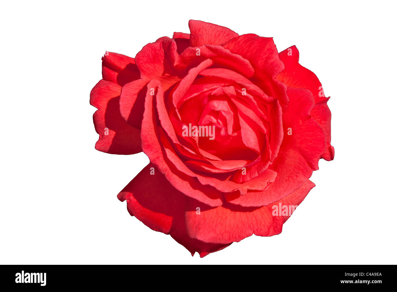 Close-up of red climber rose flower head with petals open - Stock Image