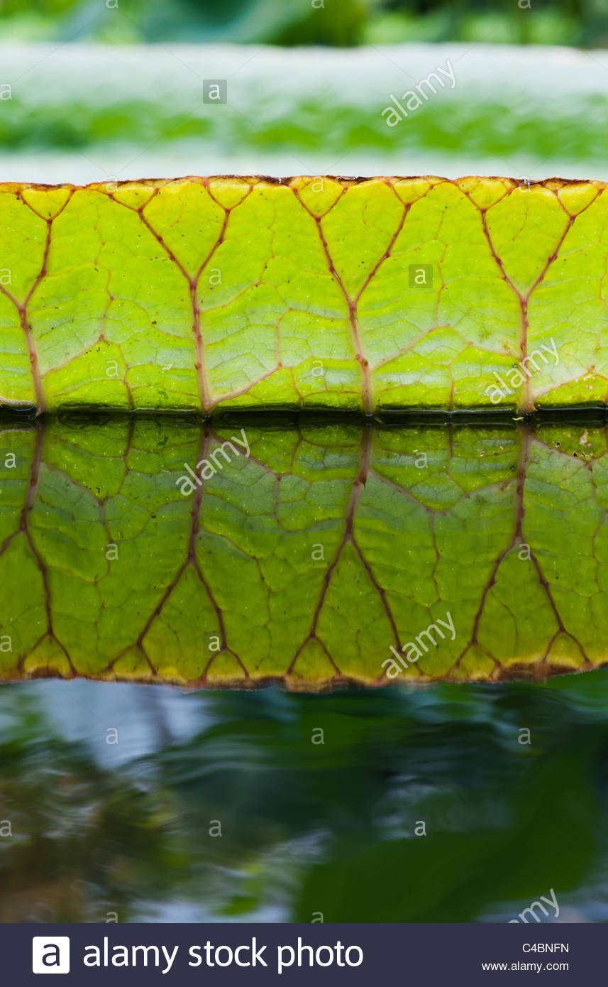 Victoria cruziana leaves. Santa Cruz water lily leaf. Giant water lily foliage - Stock Image