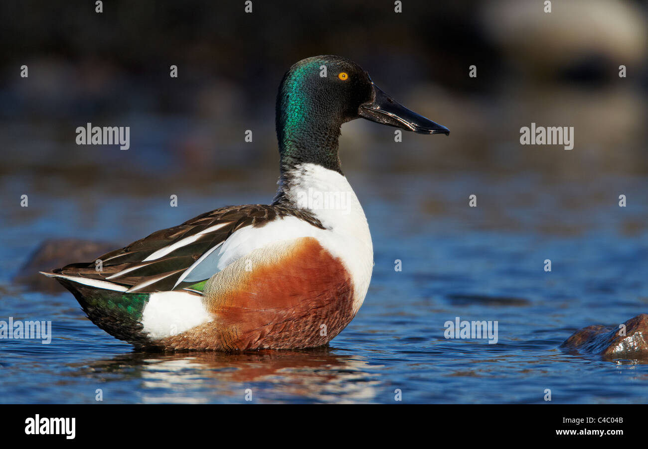 Northern Shoveler (Anas clypeata). Drake standing in shallow water - Stock Image
