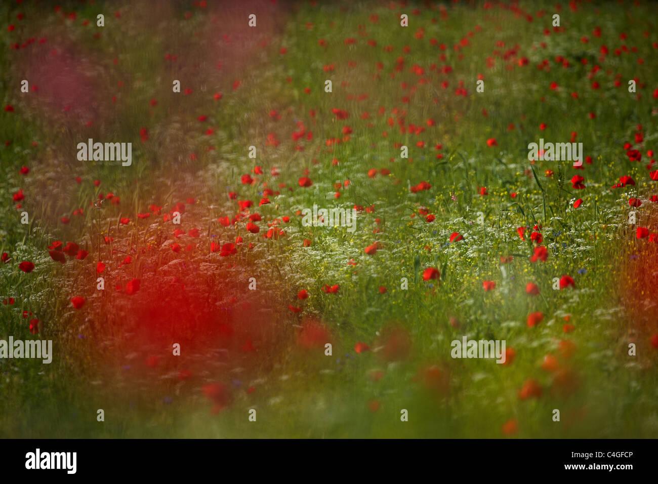 poppies in the Valnerina nr Campi, Umbria, Italy - Stock Image