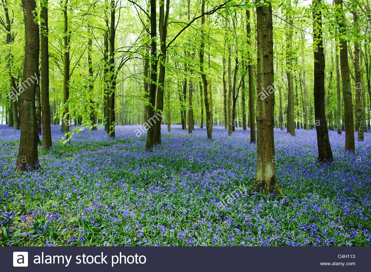 Hyacinthoides non-scripta - English Bluebell Woods - Stock Image