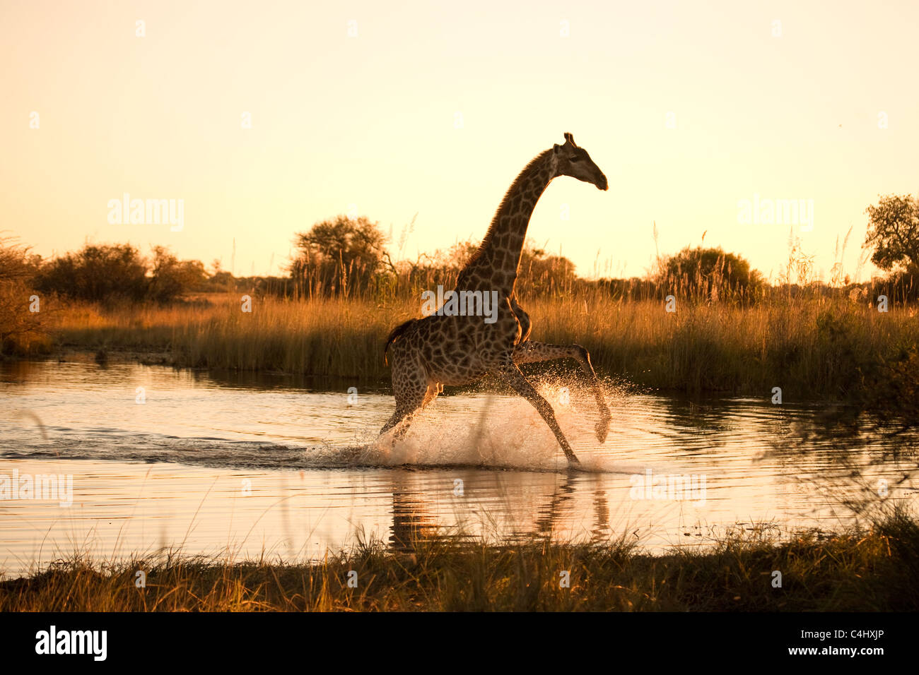 Giraffe (Giraffa camelopardalis) Running over a Flooded area in the Okavango Delta, Botswana - Stock Image