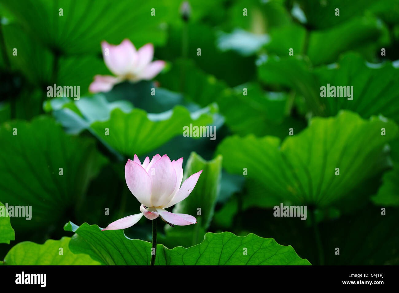 Lotus flower blooming in the pool stock photo 37275942 alamy lotus flower blooming in the pool izmirmasajfo