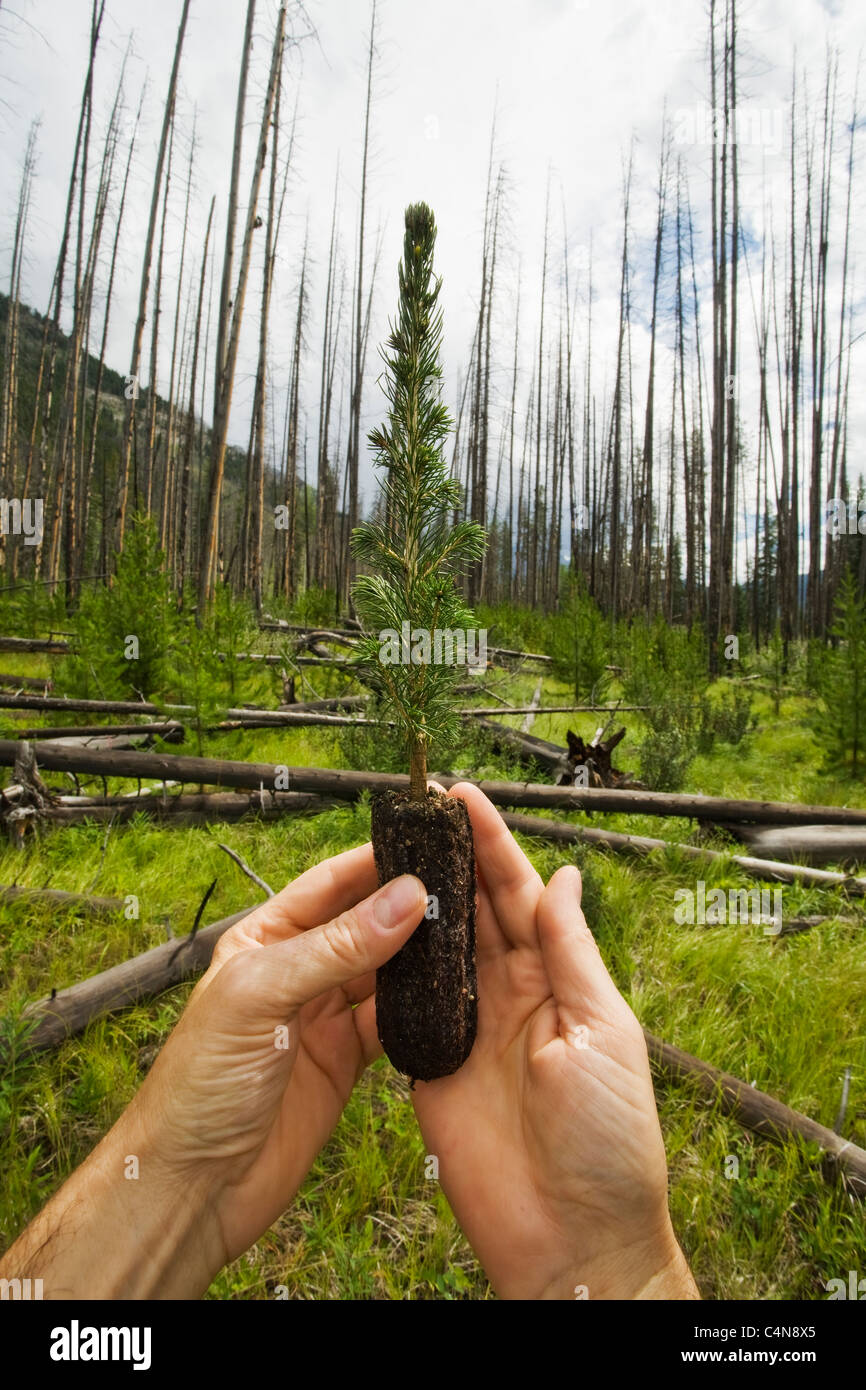 Hands holding fir sapling in a forest of burned trees. - Stock Image
