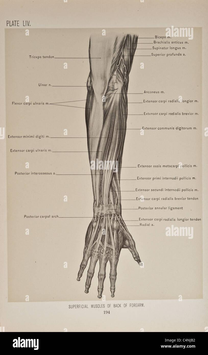 Illustration of Human Arm copyright 1899 Stock Photo: 37354774 - Alamy
