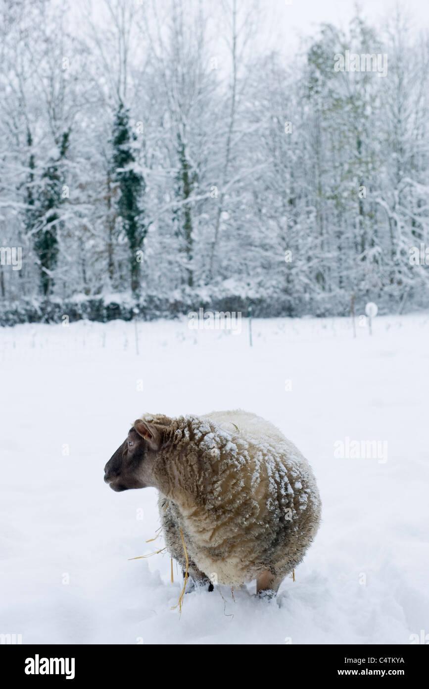 Sheep standing knee-deep in snow - Stock Image