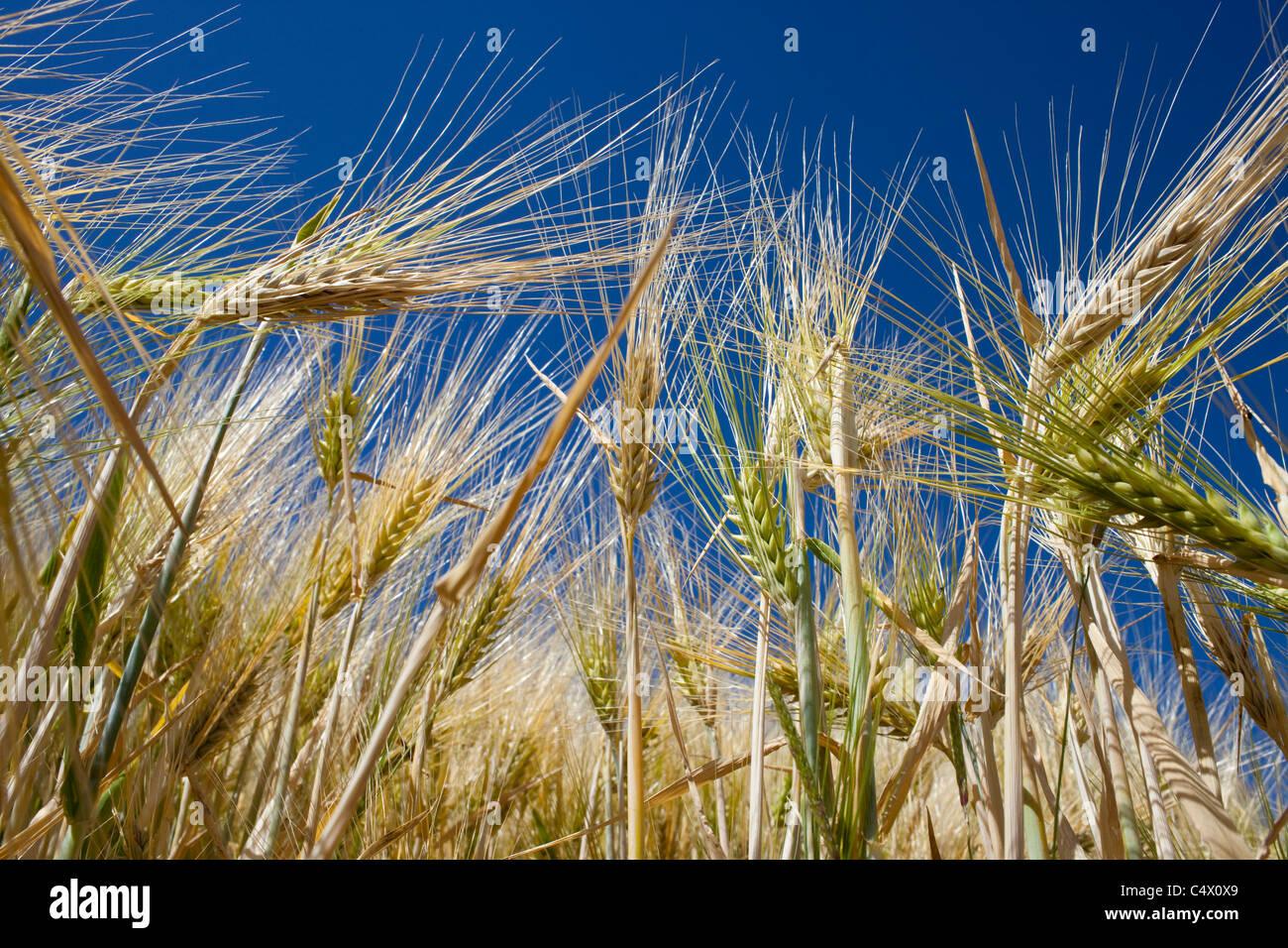 Barley field in Picardie, France - Stock Image