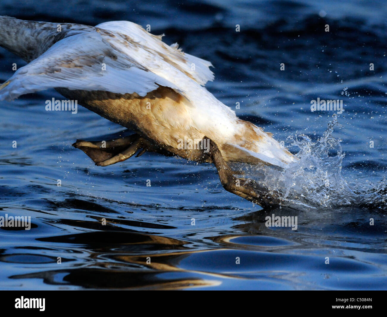 A young swan taking off from water. - Stock Image