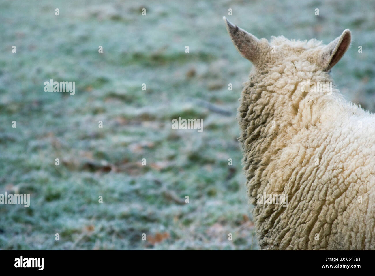 Sheep in field - Stock Image