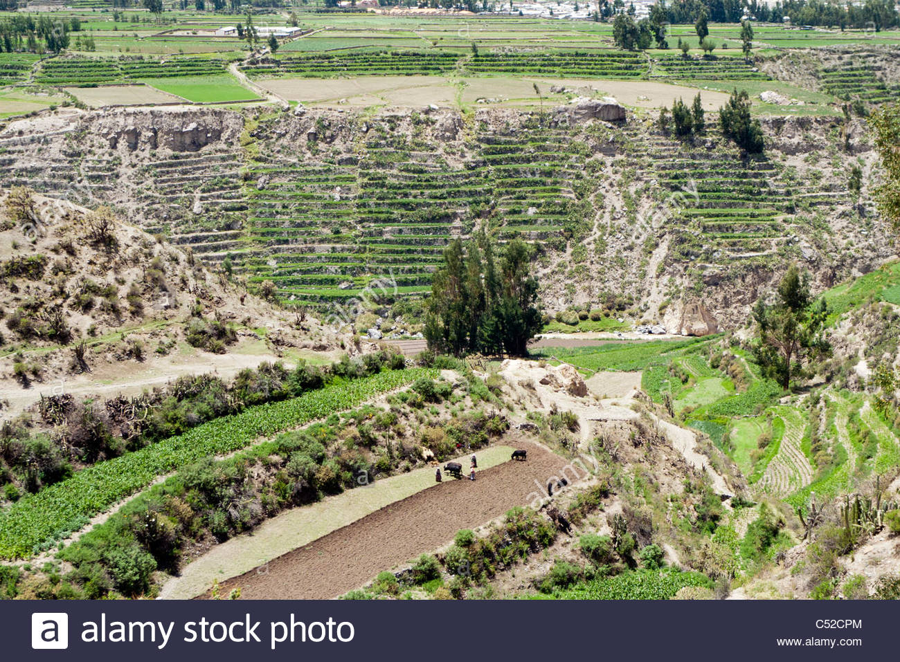 A farmer with plowing a field for planting with cows, near Coporaque, Colca Canyon, Peru. - Stock Image