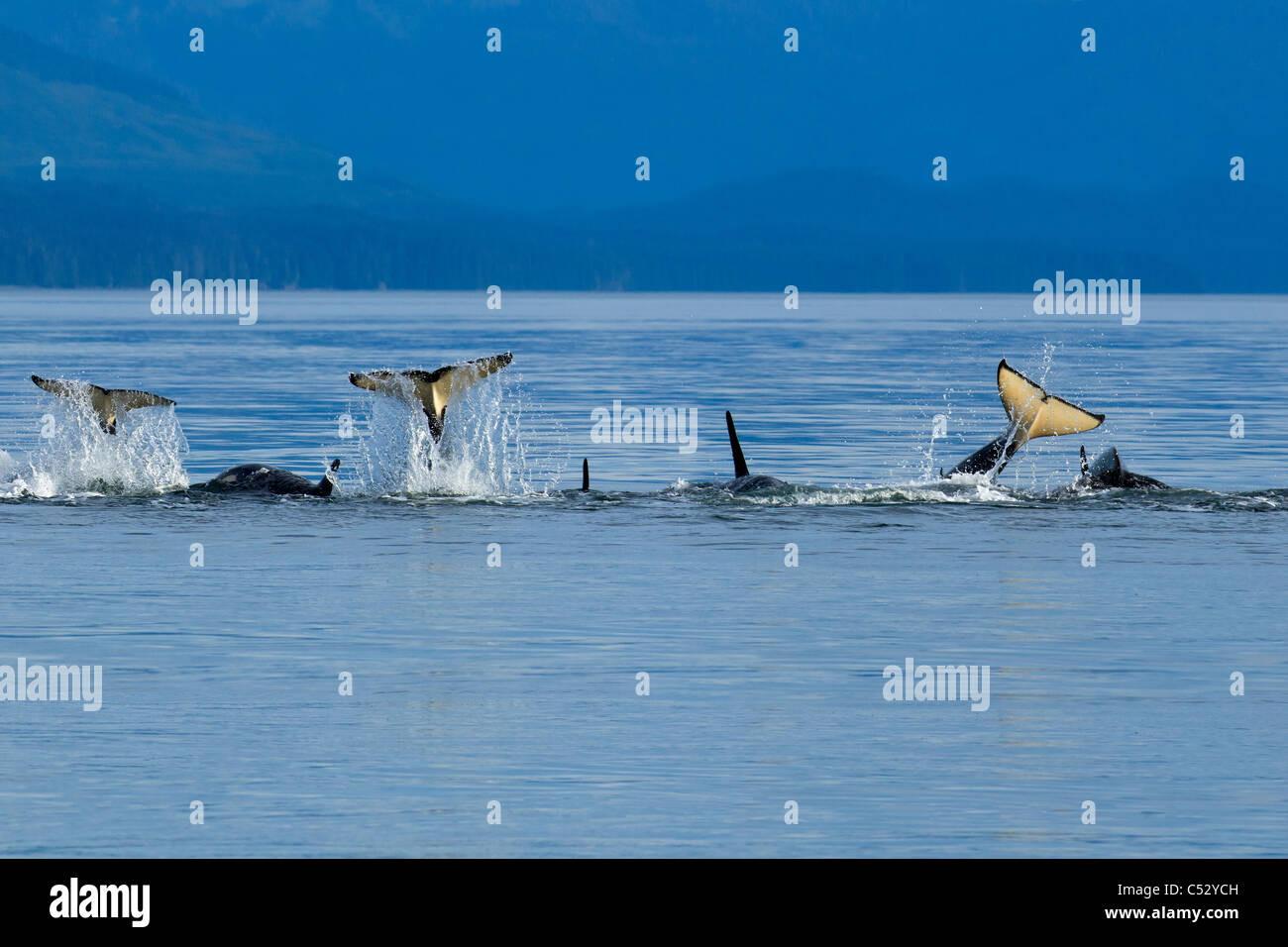 Orca whales playfully slap their tails at the surface in Chatham Strait, Inside Passage, Southeast Alaska, Summer - Stock Image