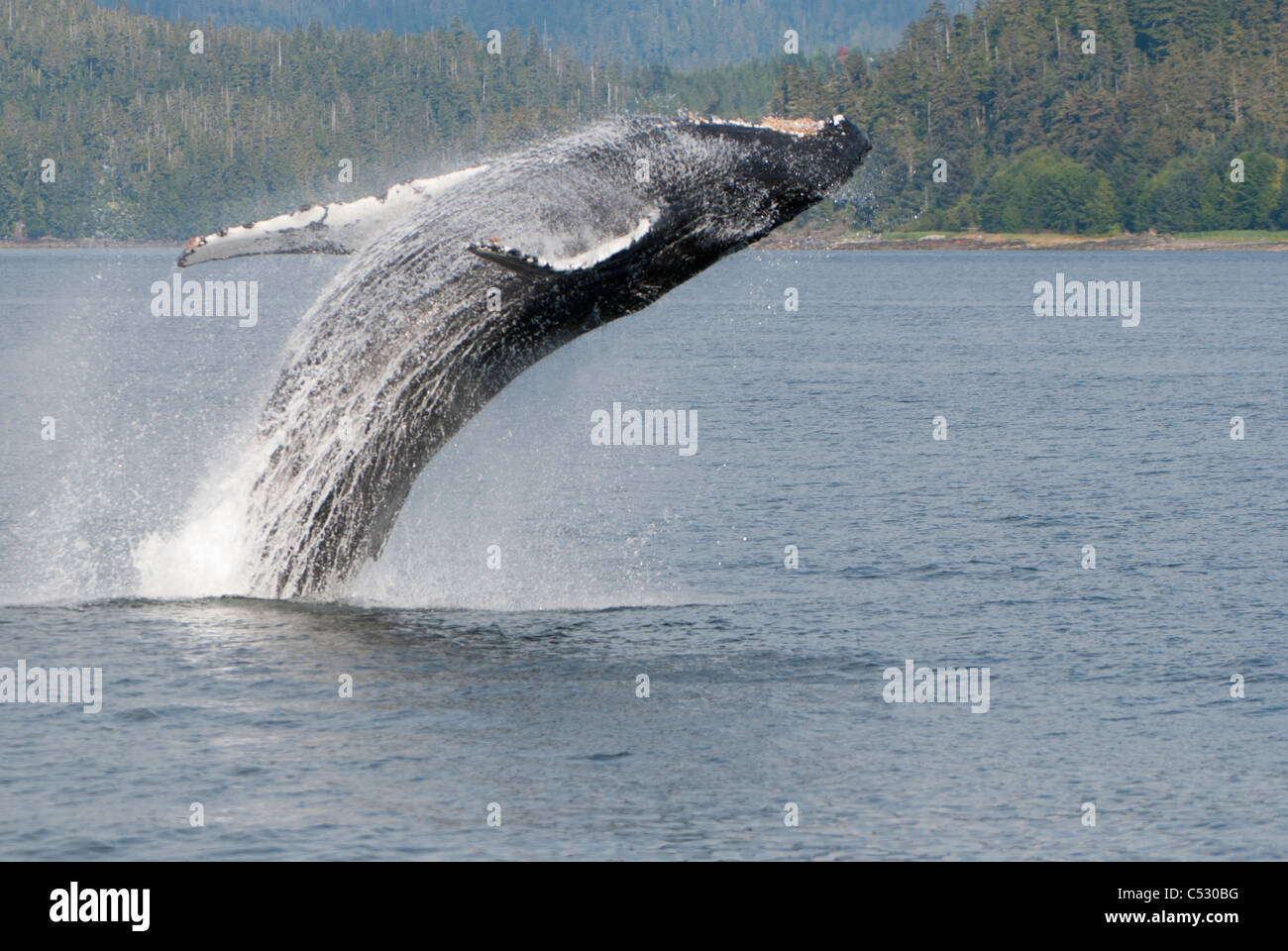 Humpback Whale breaching in Frederick Sound, Inside Passage, Southeast Alaska, Summer - Stock Image