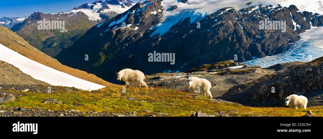 Three mountain goats foraging near Exit Glacier's Harding Icefield Trail, Kenai Fjords National Park, Alaska. - Stock Image