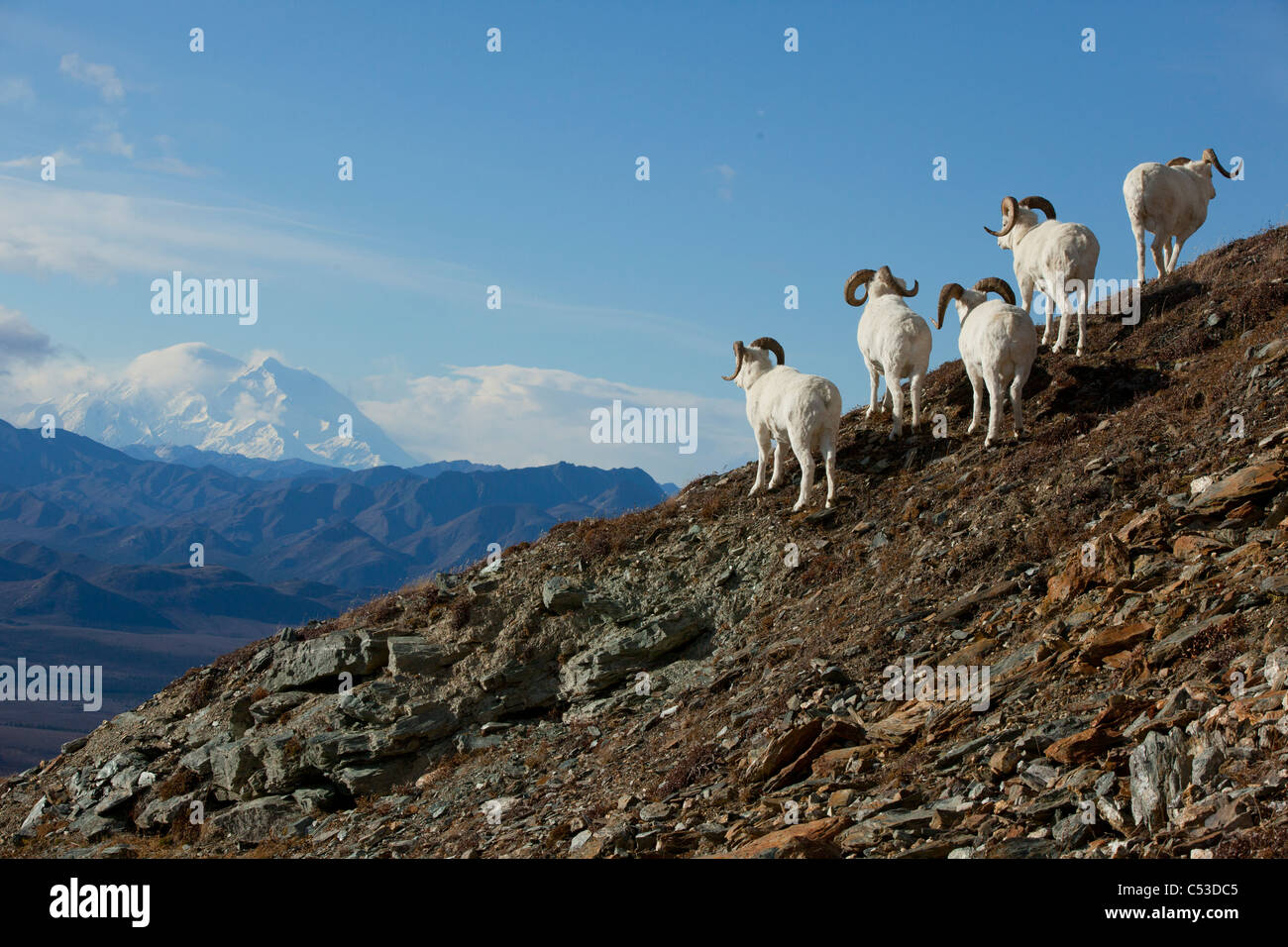 A band of Dall sheep rams stand on a rocky hillside and look towards Mt. McKinley in the background, Interior Alaska, - Stock Image