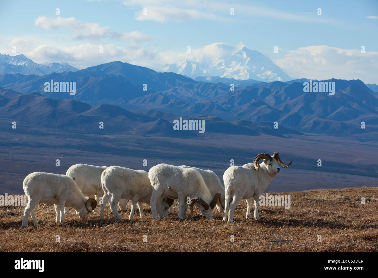 Band of Dall sheep ram standing and grazing in a high mountain meadow with Mt. McKinley in the background, Interior - Stock Image