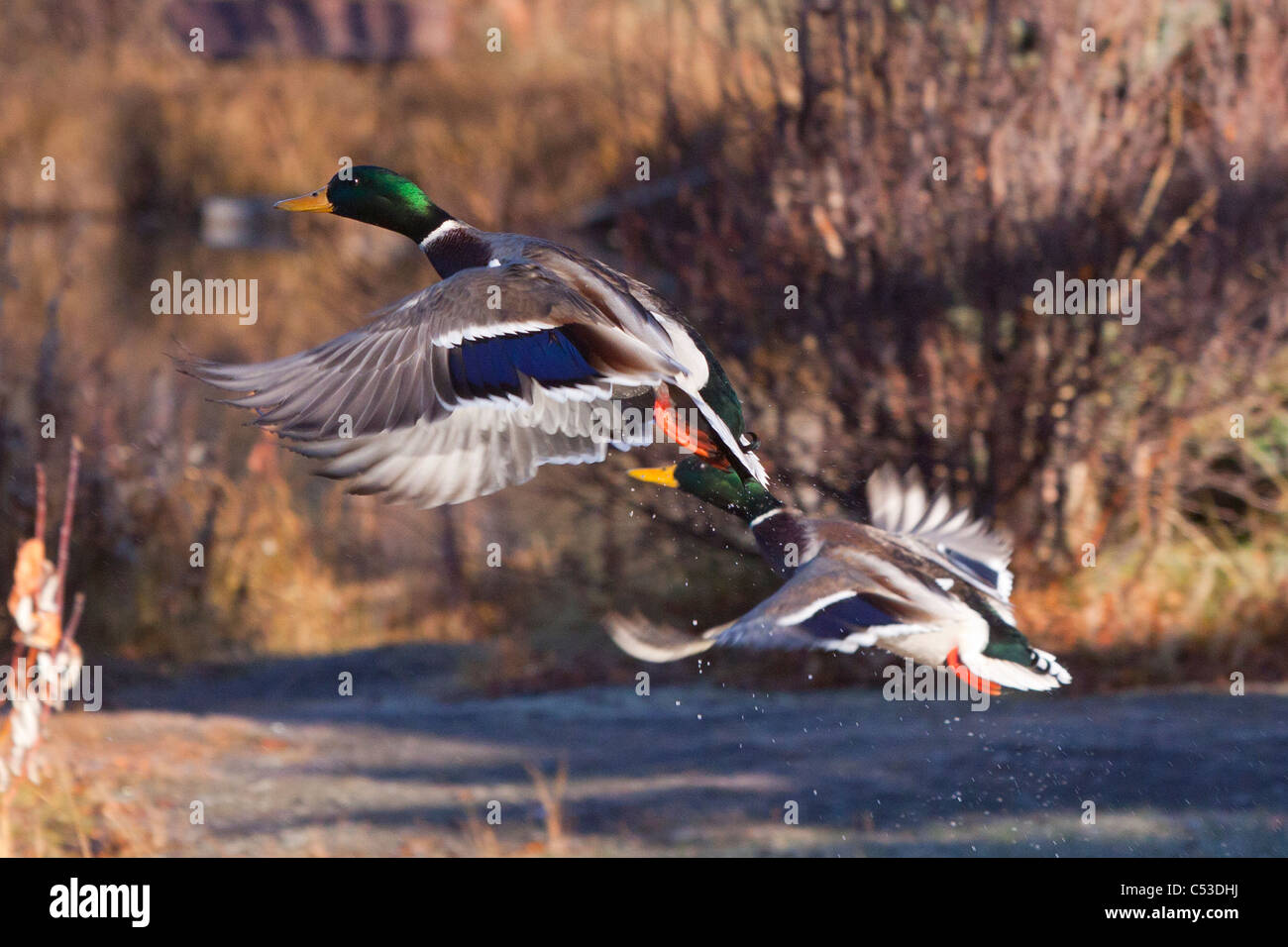Two Mallard Drake ducks take off from a pond in Anchorage, Southcentral Alaska, Autumn - Stock Image