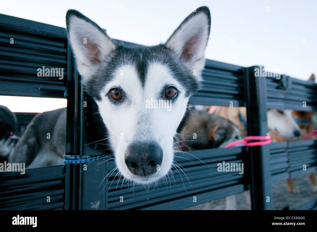 Close up of an Alaskan Husky waiting to be loaded into an airplane for transport, Gates of the Arctic National Park - Stock Image