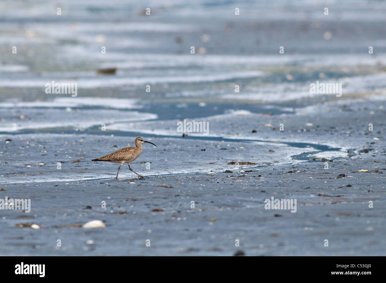 A lone whimbrel walks along the mud flats of Hartney Bay, Cordova, Prince William Sound, Southcentral Alaska, Spring - Stock Image