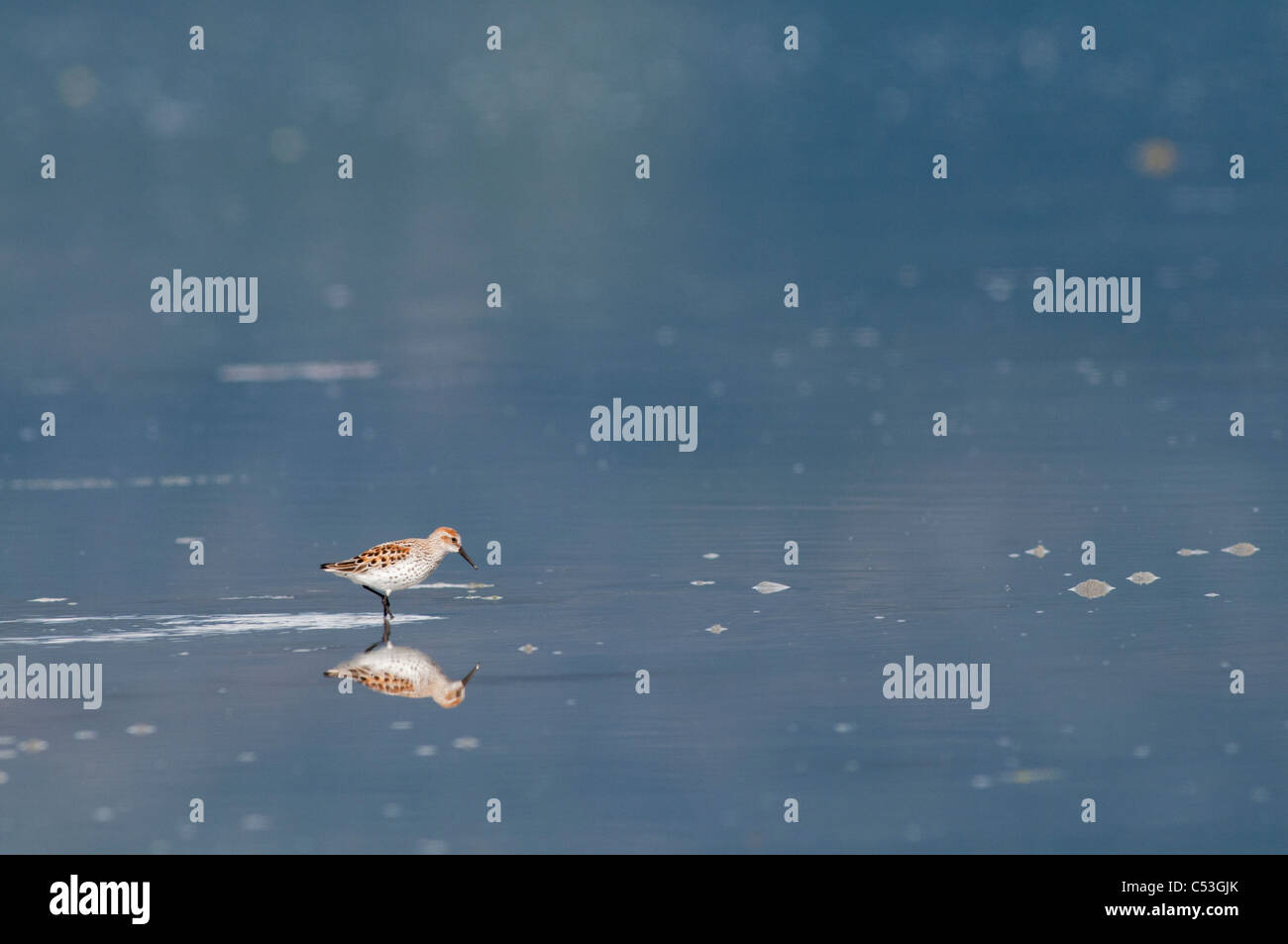 A lone Western sandpiper stands in the shallow incoming tide at Hartney Bay, Cordova, Prince William Sound, Alaska, - Stock Image
