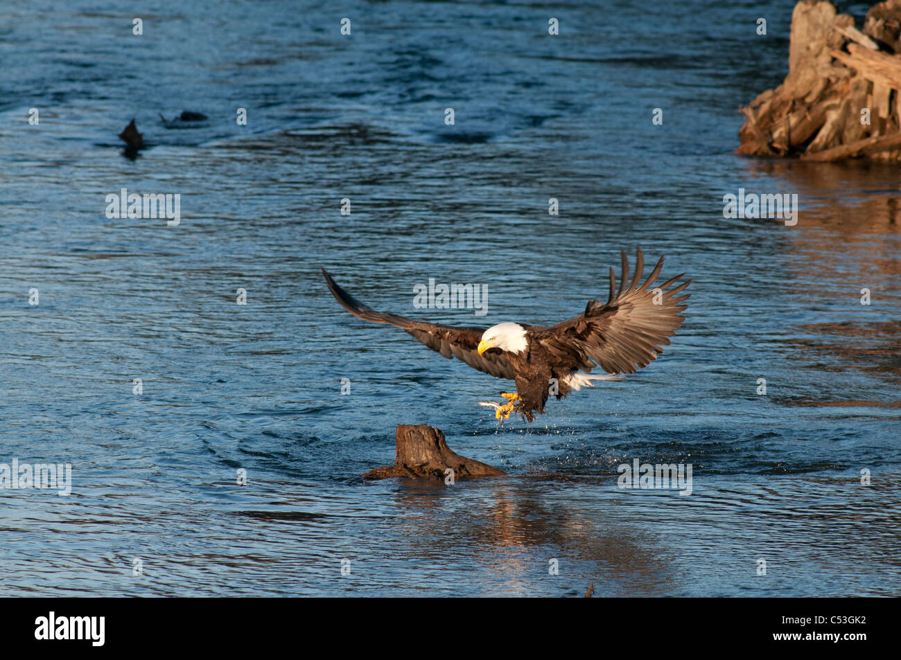 Bald Eagle catches a hooligan fish in its talons while fishing in the Alaganik Slough, Chugach National Forest, - Stock Image