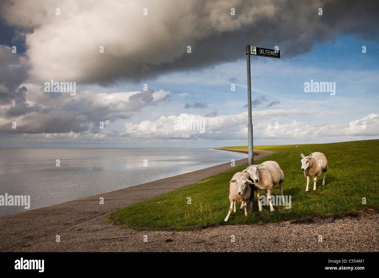 The Netherlands, Buren on Ameland Island, belonging to Wadden Sea Islands. Unesco World Heritage Site. Sheep on - Stock Image