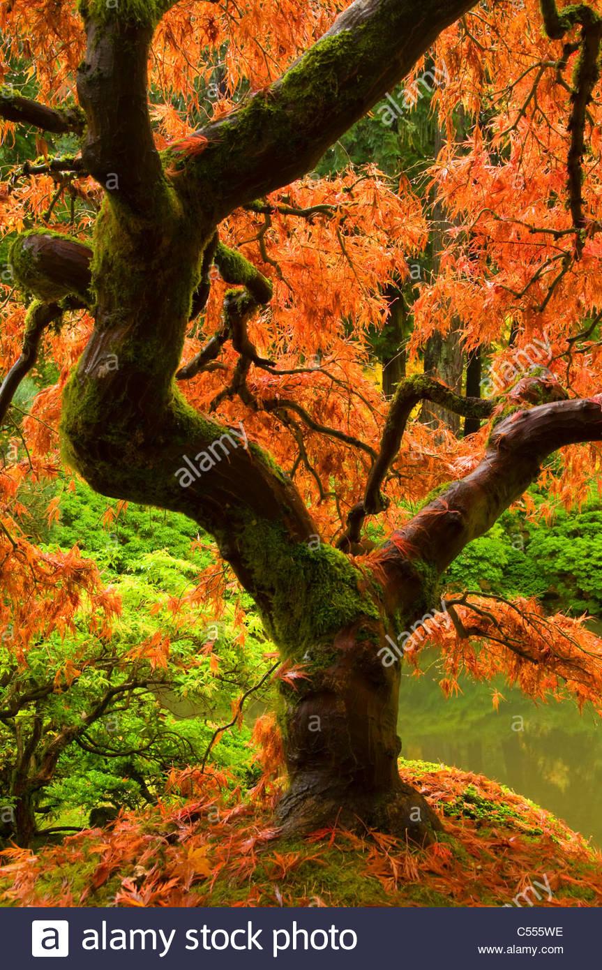 Japanese maple tree in a garden, Portland Japanese Garden ...