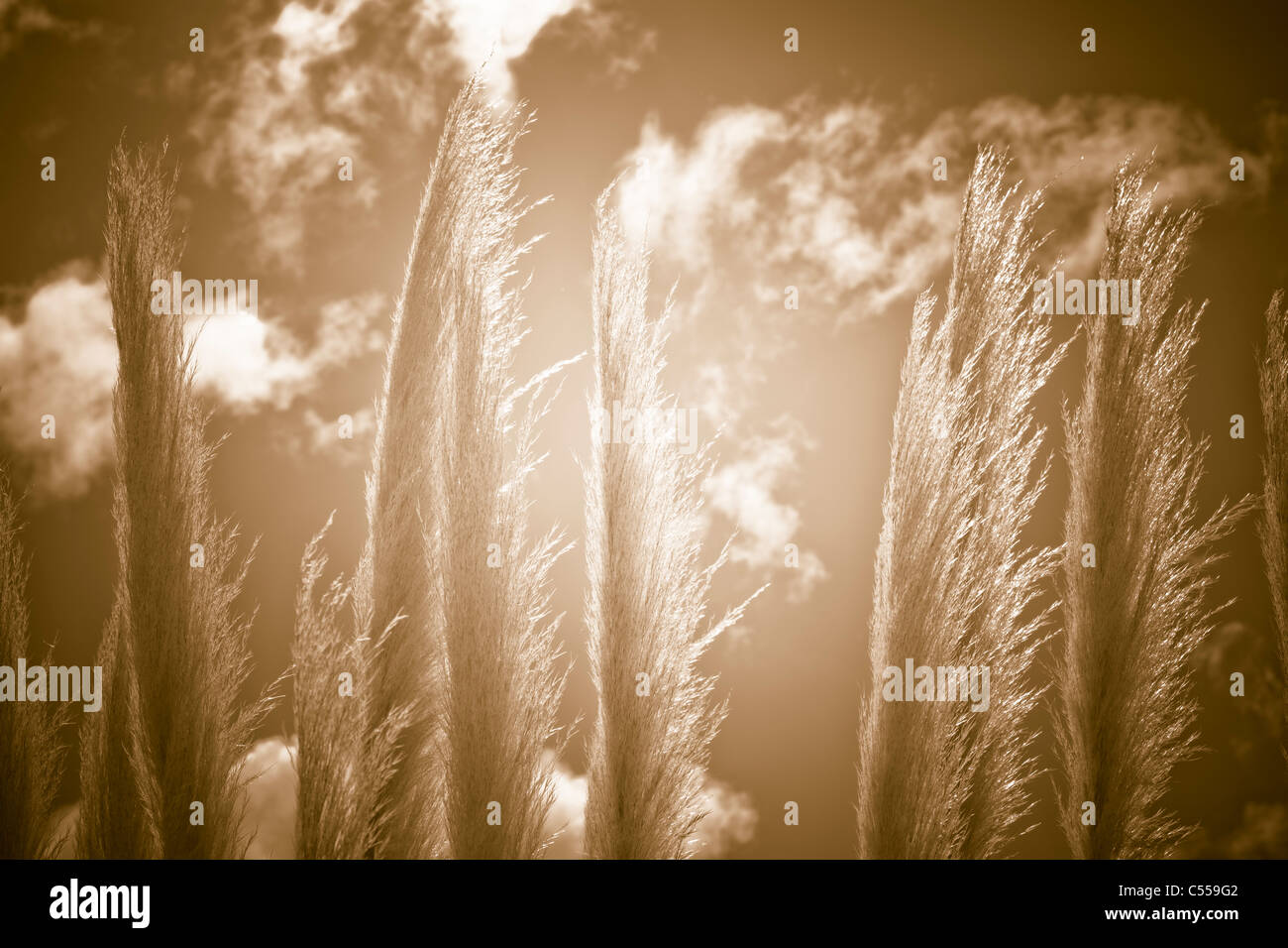 Detail of reed and sunset. Natural abstract background. - Stock Image