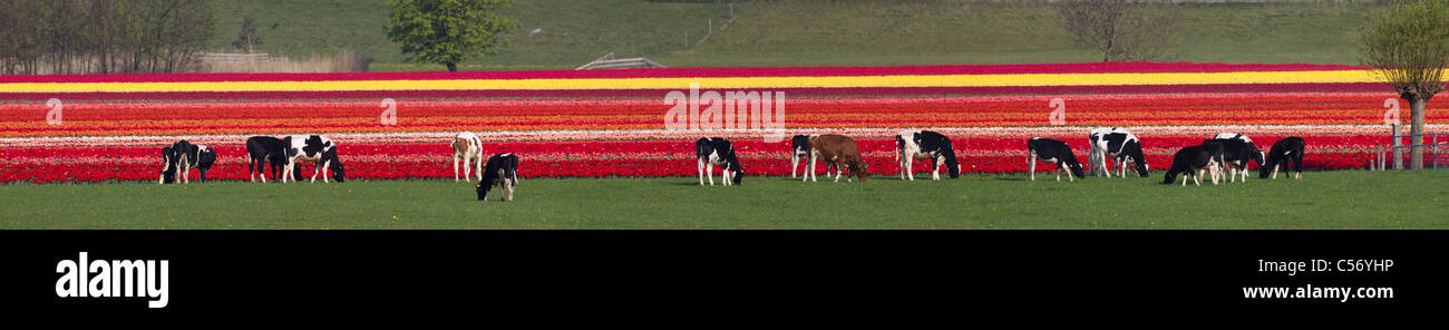 The Netherlands, Oterleek, Cows in front of tulip field. - Stock Image