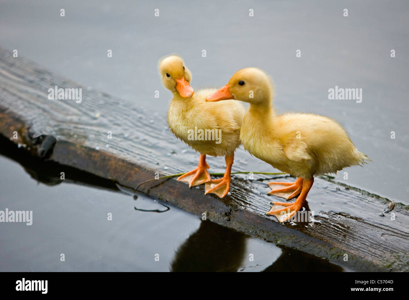 The Netherlands, 's-Graveland. Wild duckings on wood - Stock Image