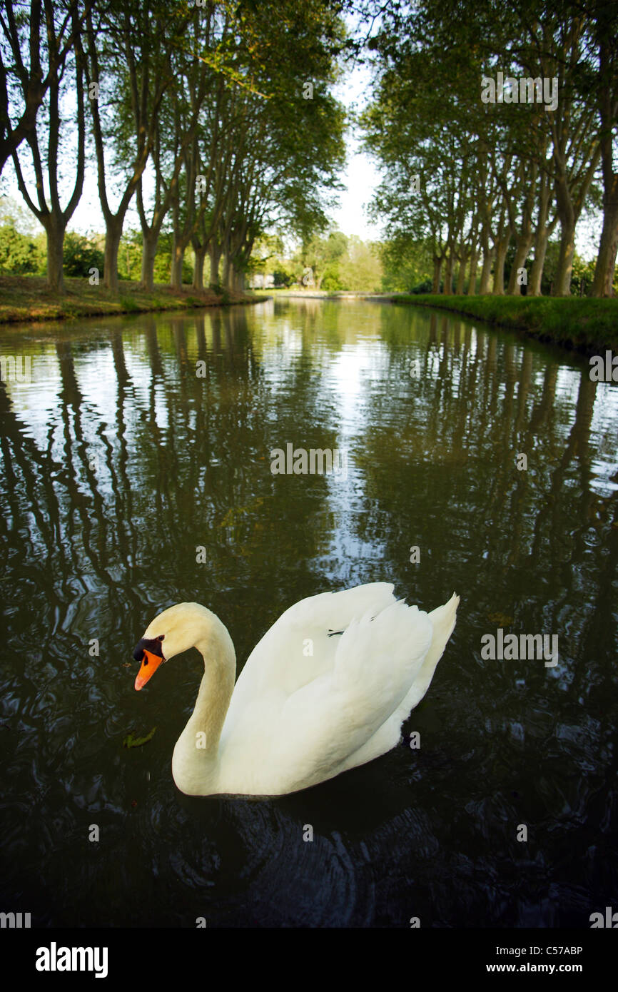 Canal du Midi with white swan - Stock Image