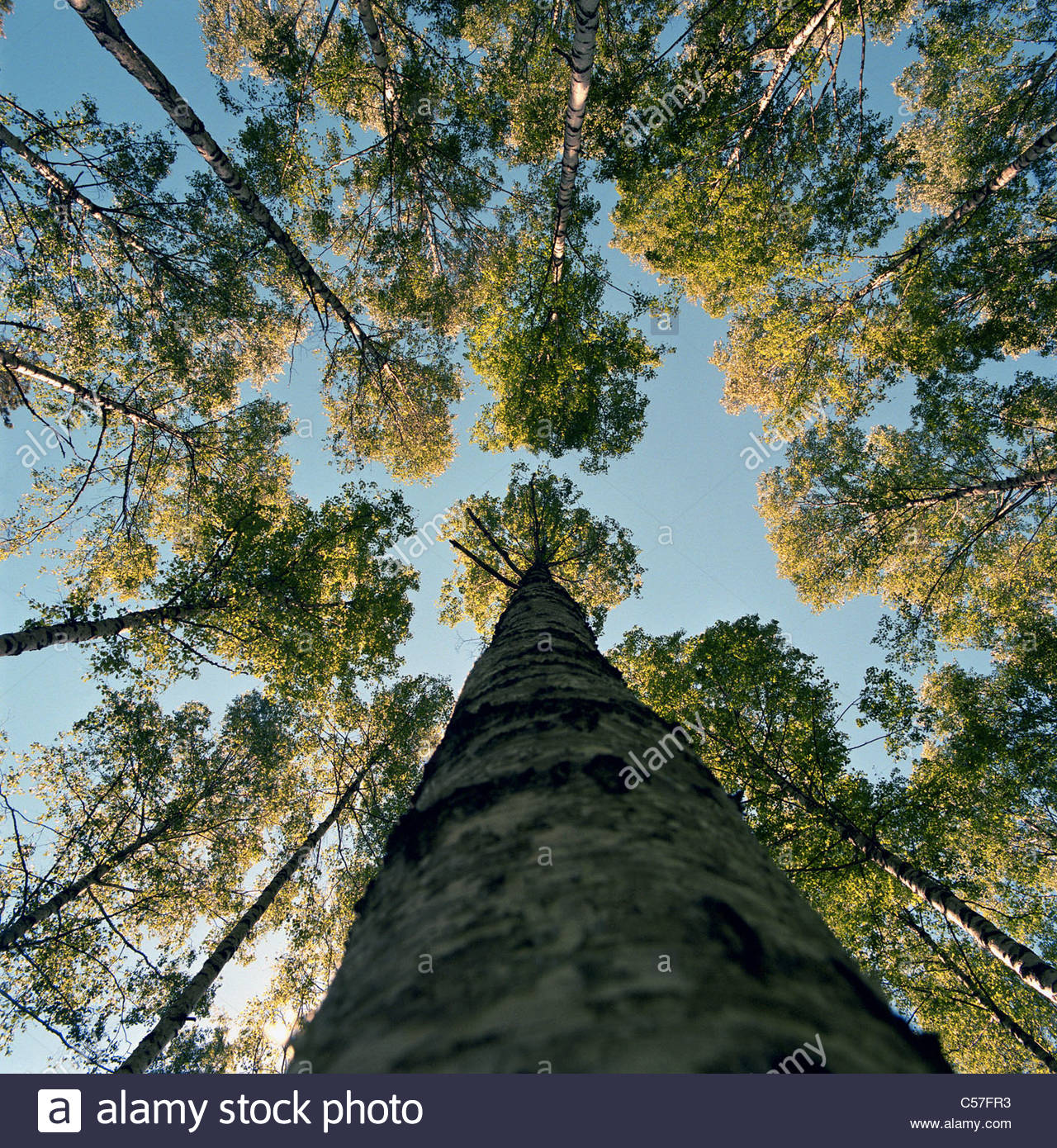 Low angle view of tall tree - Stock Image