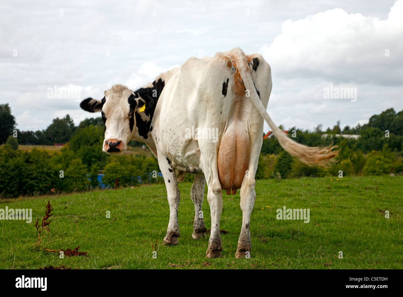 behind-of-black-and-white-cow-with-diste