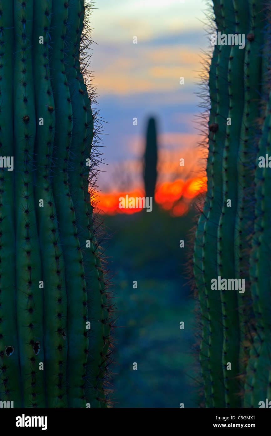 Saguaro cactus at sunset in Organ Pipe National Monument, Arizona, USA - Stock Image