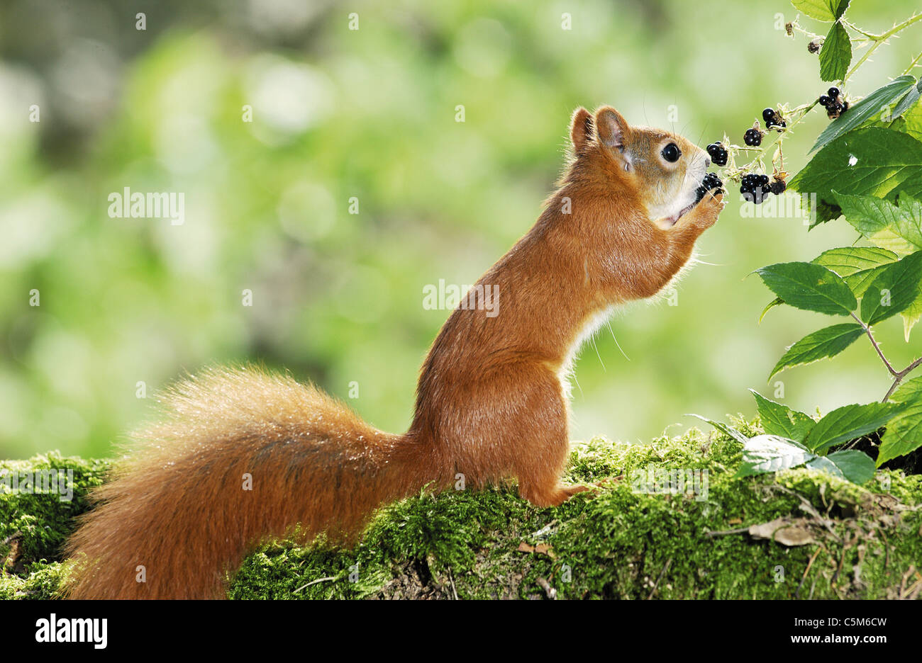 Young European red squirrel eating blackberries - Stock Image