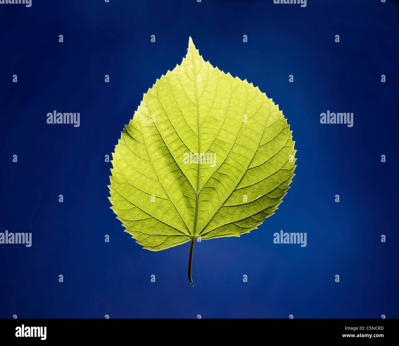 A green leaf on a blue surface - Stock Image