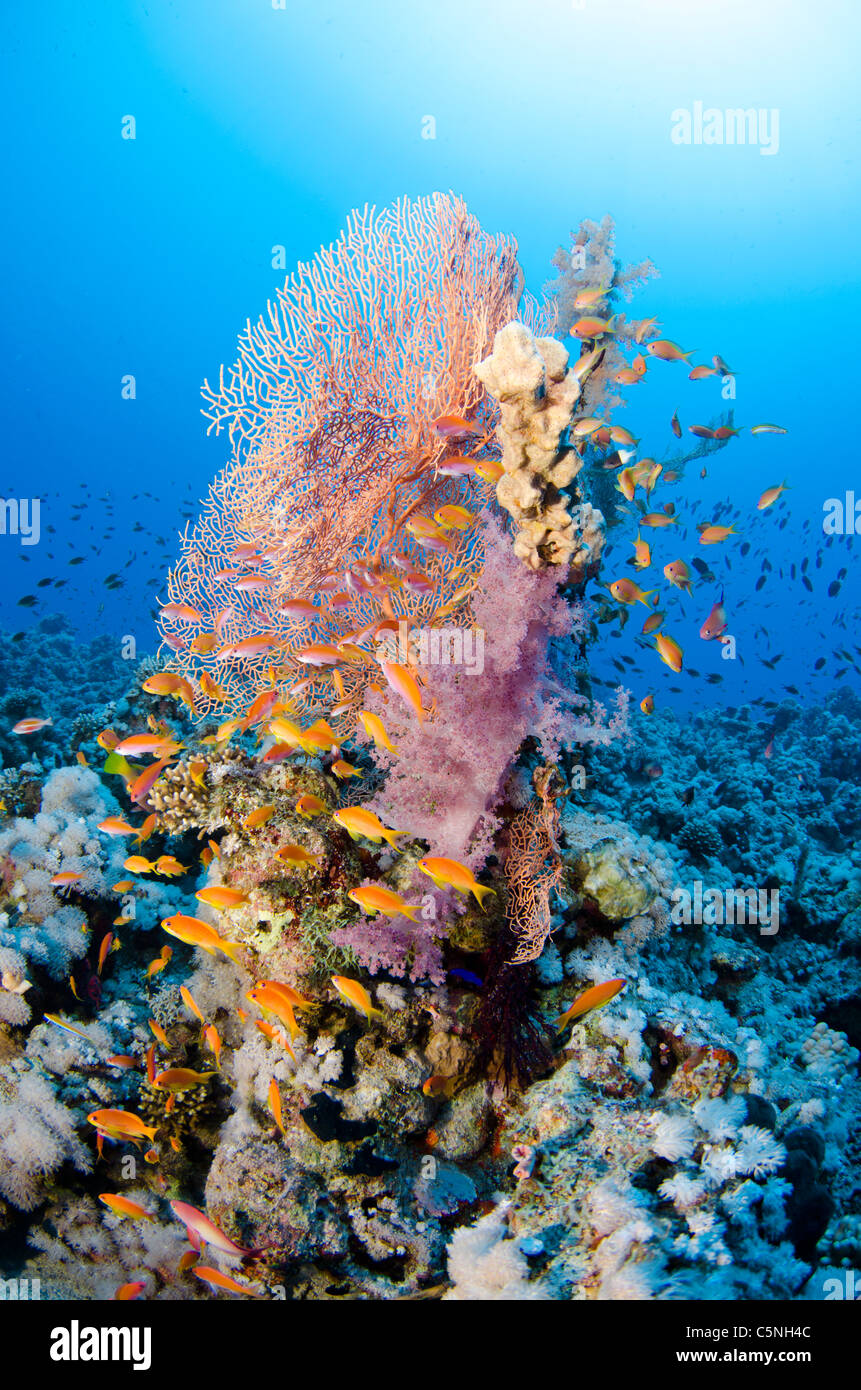 Rich coral reef, Straits of Tiran, Red Sea, Sinai, Egypt - Stock Image
