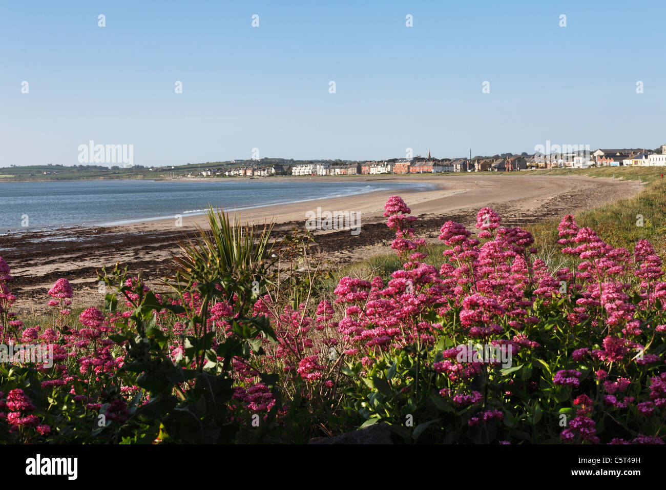 Republic of Ireland, County Fingal, Skerries, Red valerian near beachside - Stock Image