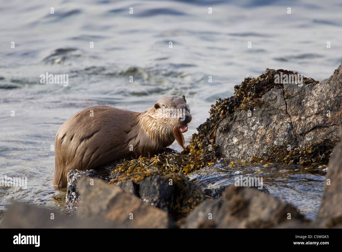 European River Otter (Lutra lutra) feeding on a Rockling on rocky coast. Shetland, Scotland, Great Britain. - Stock Image