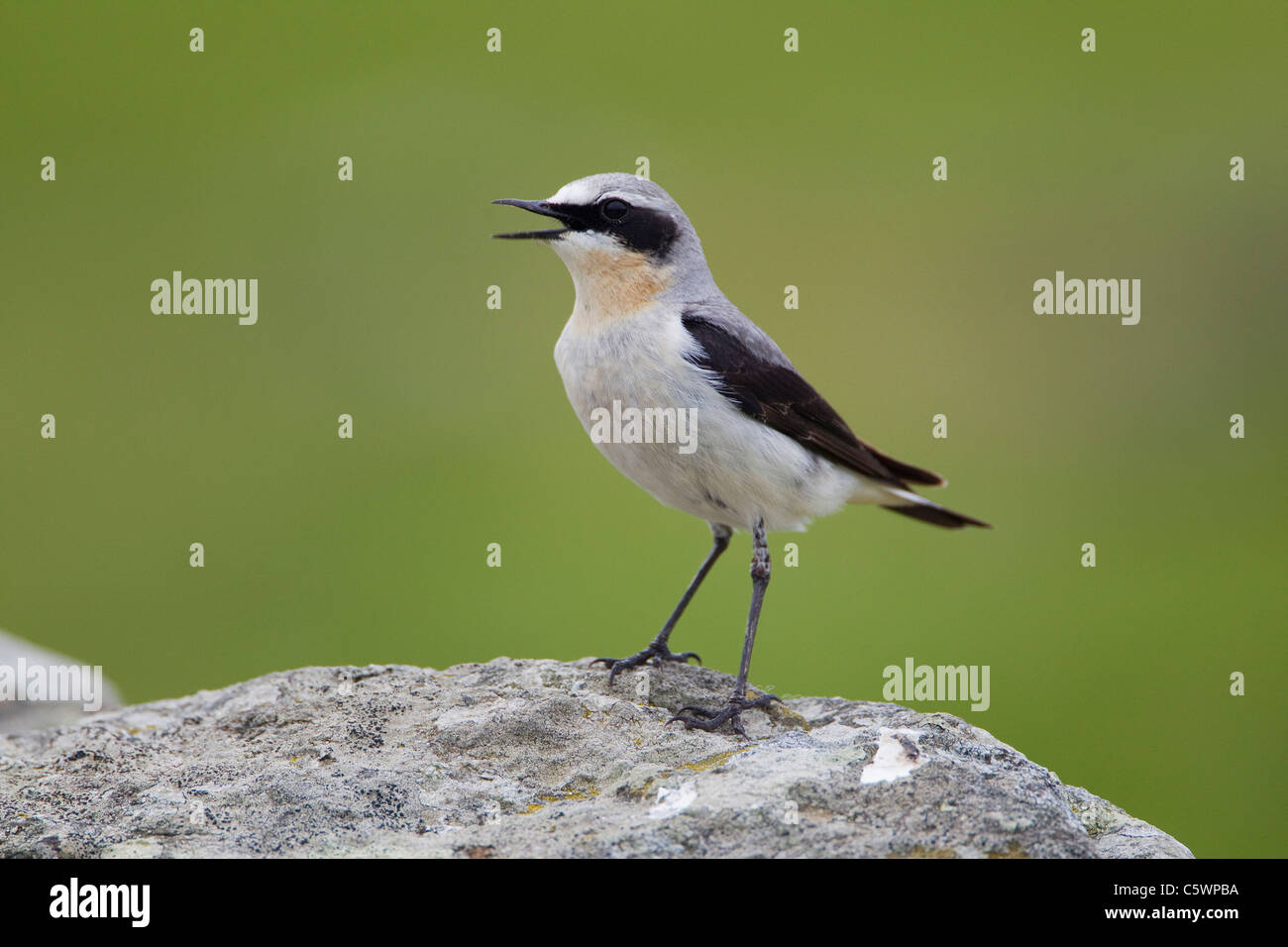 Northern Wheatear (Oenanthe oenanthe). Adult male perched on rock while calling, Shetland, Scotland, Great Britain. - Stock Image