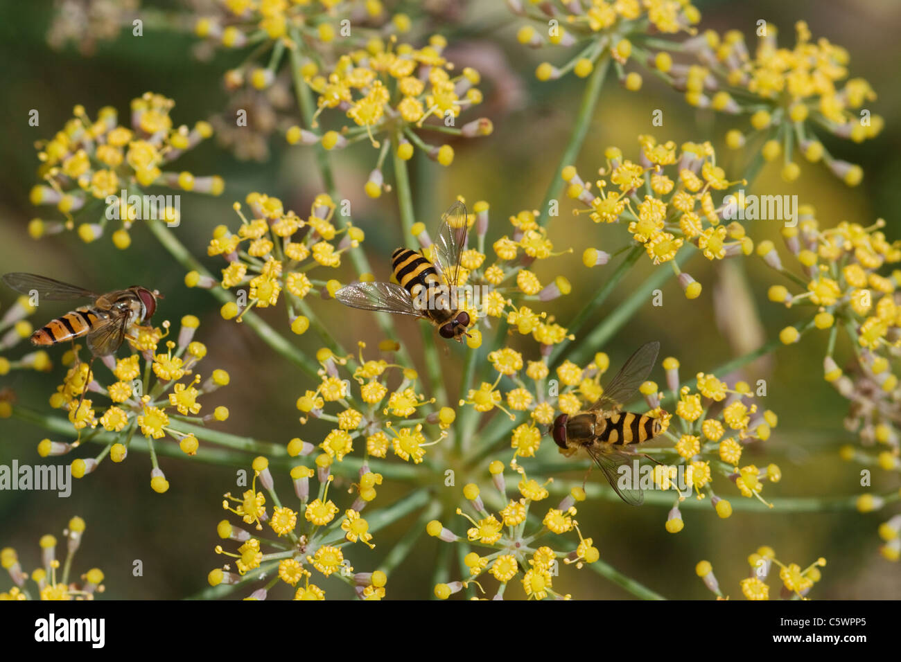 hoverflies-on-fennel-flower-melascaeava-