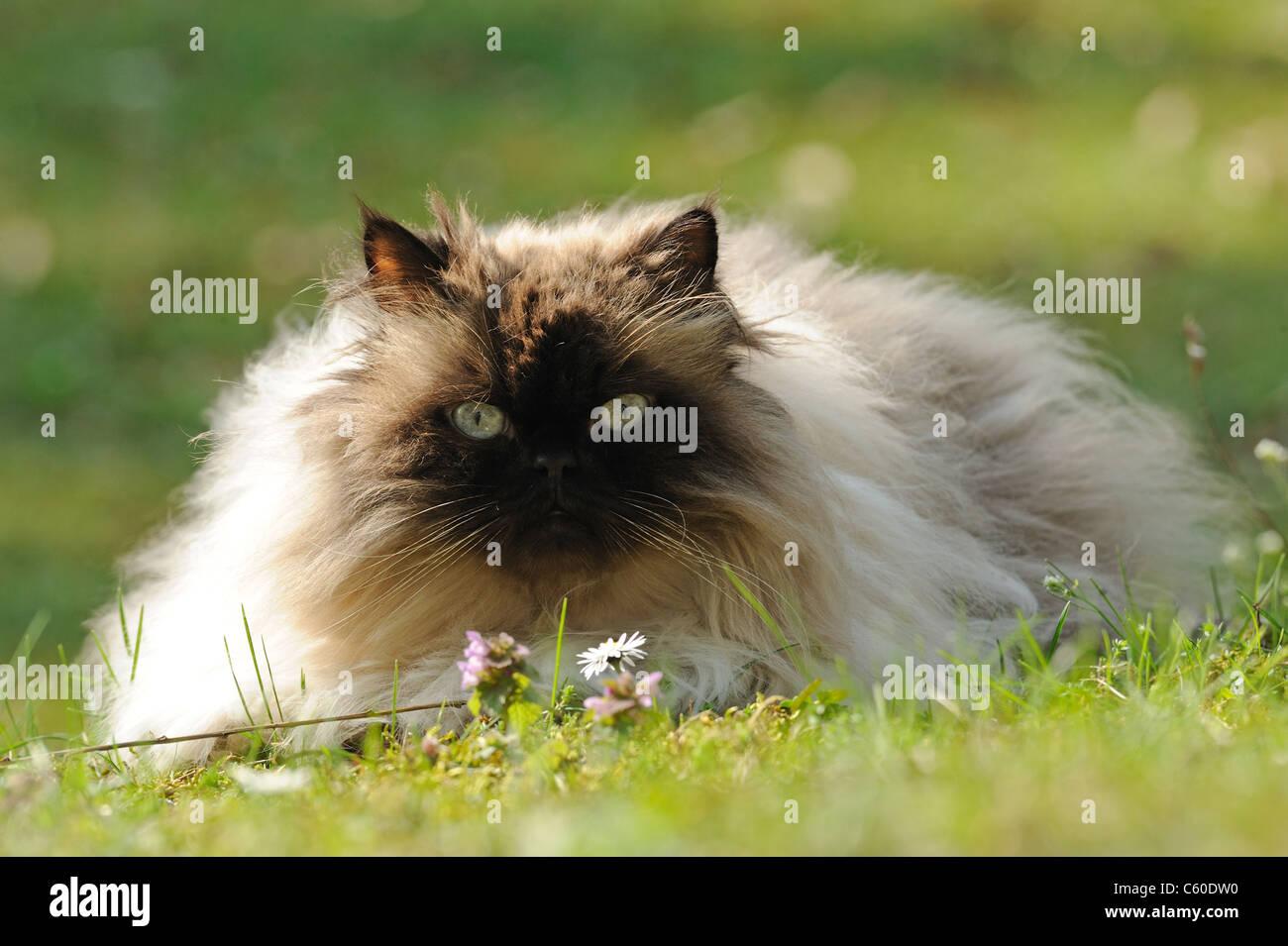 Domestic Cat, Persian Cat (Felis silvestris, Felis catus), adult female lying on a lawn. - Stock Image