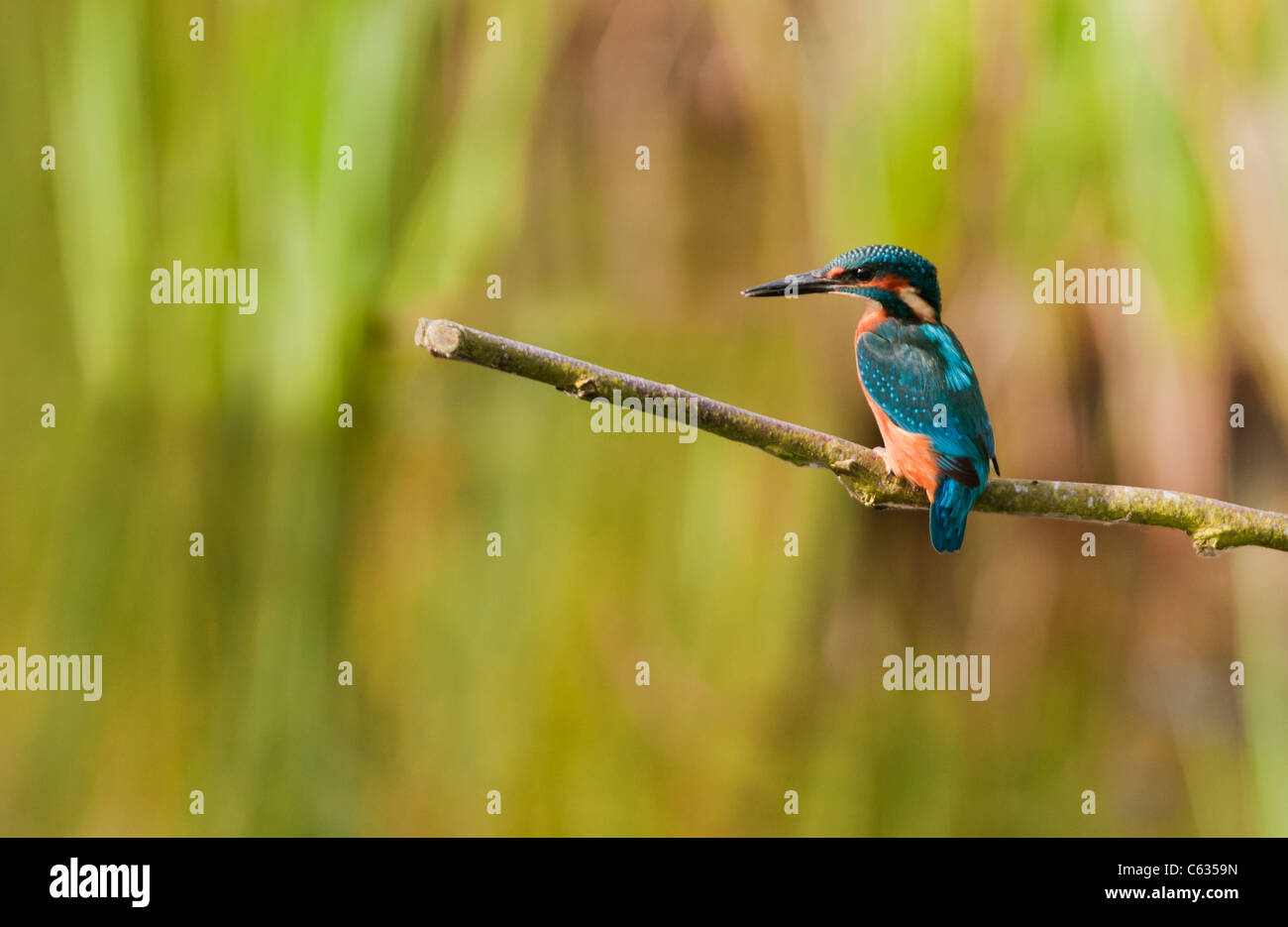 Male Common Kingfisher (Alcedo atthis) perched - Stock Image