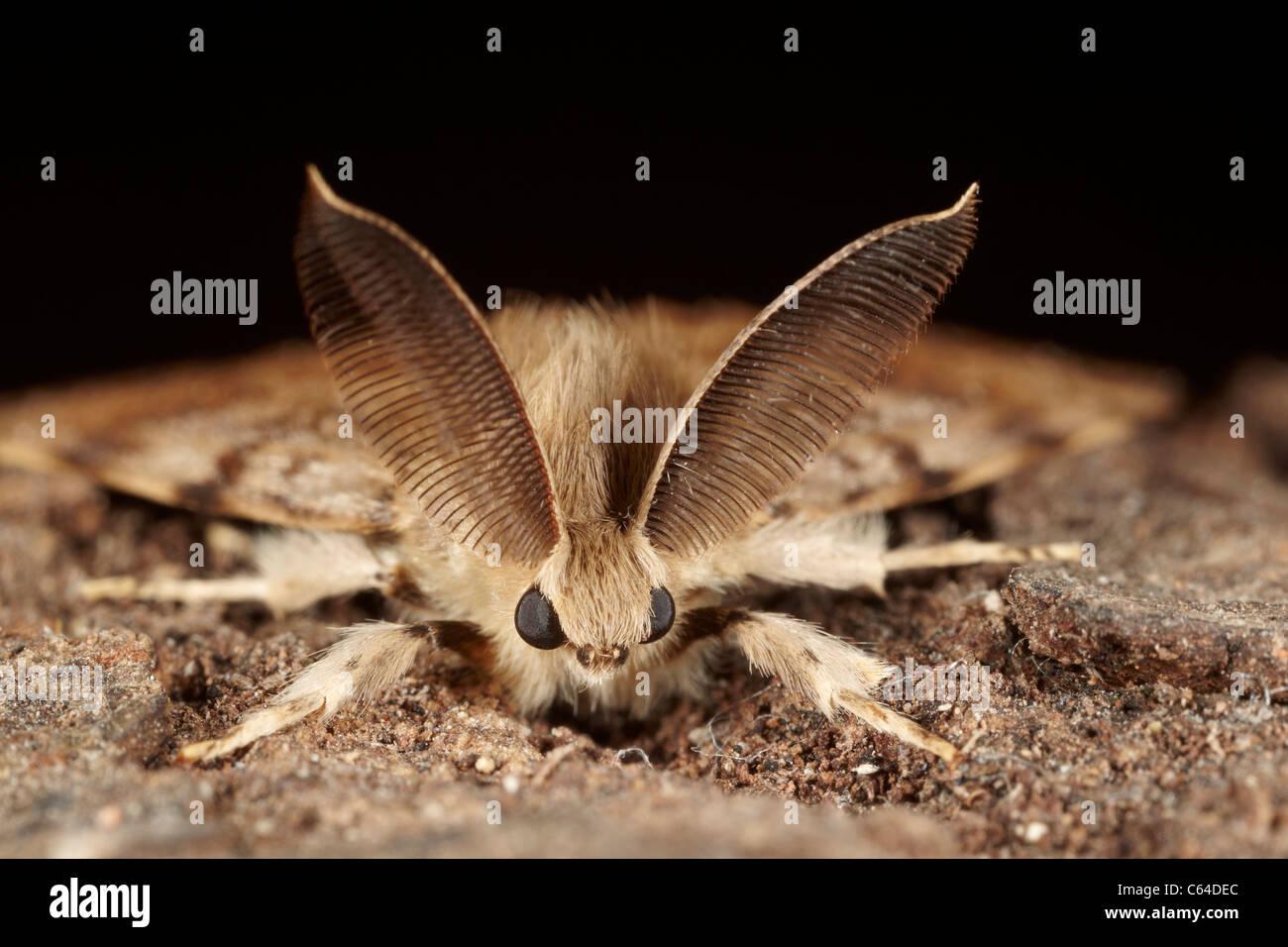 Gypsy moth, Lymantria dispar dispar, male Stock Photo